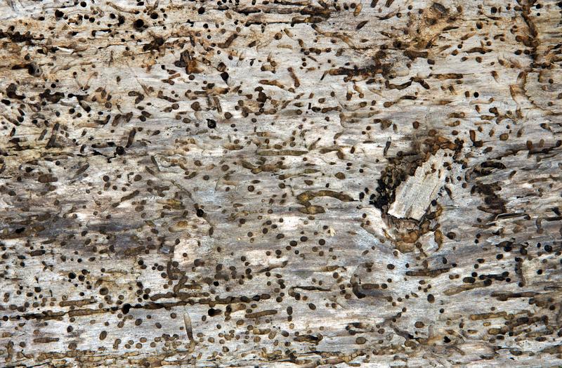 woodworm infestation